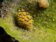 Nudibranch bleu/de jaune costasiella de moutons photographie stock