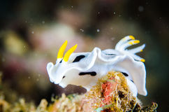 Nudibranch bunaken sulawesi indonesia chromodoris dianae underwater Royalty Free Stock Photos