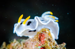 Nudibranch bunaken sulawesi indonesia chromodoris dianae underwater Stock Photography