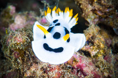 Nudibranch bunaken sulawesi indonesia chromodoris dianae underwater Stock Photos