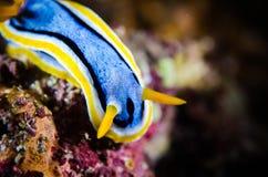 Nudibranch bunaken sulawesi indonesia chromodoris sp. underwater Stock Images