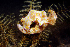 Nudibranch, Ceratosoma tenue Royalty Free Stock Photography