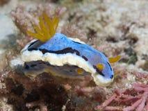 Nudibranch Chromodoris annae Stock Images