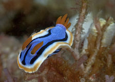 Nudibranch Chromodoris annae Royalty Free Stock Photo