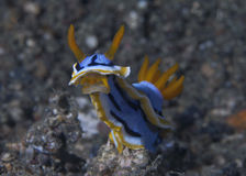 Nudibranch Chromodoris annae shows mouth Stock Image