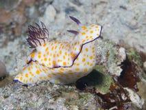 Nudibranch Chromodoris annulata Royalty Free Stock Photo