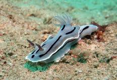 Nudibranch Chromodoris blått undervattens- royaltyfria bilder