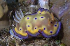 Nudibranch Chromodoris kunei 库存图片