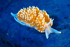 Nudibranch colorido Fotografia de Stock Royalty Free