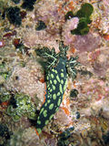Nudibranch on coral Stock Images