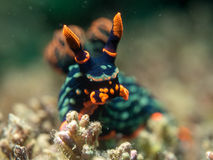 Nudibranch on the coral royalty free stock image