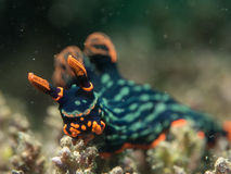 Nudibranch on the coral. Philippines Royalty Free Stock Image