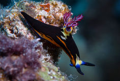 Nudibranch on the corals royalty free stock image