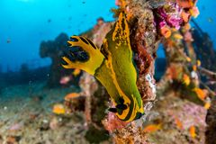 Nudibranch on Ship Wreck in maldives indian ocean Stock Photography