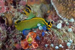Nudibranch crawling on the coral reef. Philippines