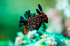 Nudibranch crawling over the bottom substrate in Derawan, Kalimantan, Indonesia underwater photo. Nudibranch are benthic animals, has scientific name Nembrotha Stock Photo
