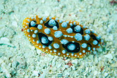 Nudibranch crawling over the bottom substrate in Derawan, Kalimantan, Indonesia underwater photo. Nudibranch are benthic animals, has scientific name Phyllidia Royalty Free Stock Images