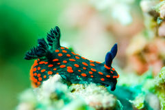 Nudibranch crawling over the bottom substrate in Derawan, Kalimantan, Indonesia underwater photo Stock Images