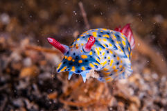 Nudibranch crawling over the bottom substrate in Gili, Lombok, Nusa Tenggara Barat, Indonesia underwater photo. Nudibranch are benthic animals, has scientific Royalty Free Stock Photos