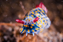 Nudibranch crawling over the bottom substrate in Gili, Lombok, Nusa Tenggara Barat, Indonesia underwater photo. Nudibranch are benthic animals, has scientific Royalty Free Stock Photography
