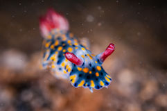 Nudibranch crawling over the bottom substrate in Gili, Lombok, Nusa Tenggara Barat, Indonesia underwater photo. Nudibranch are benthic animals, has scientific Stock Photography