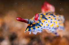 Nudibranch crawling over the bottom substrate in Gili, Lombok, Nusa Tenggara Barat, Indonesia underwater photo. Nudibranch are benthic animals, has scientific Stock Images