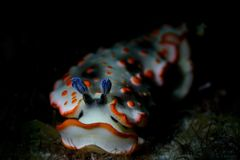 White and orange nudibranch crawling in the dark royalty free stock image