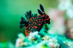 Nudibranch, das über das untere Substrat in Derawan, Unterwasserfoto Kalimantan, Indonesien kriecht Stockfoto