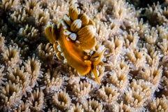 Nudibranch de Aeolid em Derawan, foto subaquática de Kalimantan, Indonésia Fotos de Stock Royalty Free