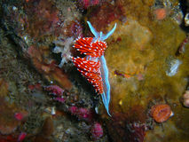 Nudibranch de crassicornis de Hermissenda Photographie stock libre de droits