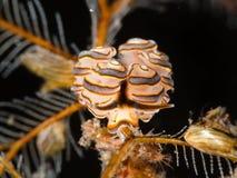 Nudibranch de Doto Photos libres de droits