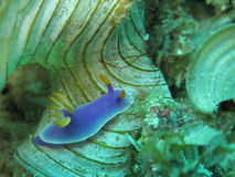 Nudibranch di bullocki di Chromodoris Fotografia Stock