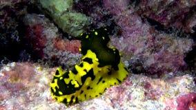 Nudibranch di gardineri di Aegires del nudibranch della banana del ` s di Gardiner archivi video