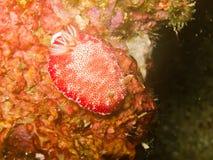 Nudibranch di reticulata di Chromodoris fotografia stock libera da diritti