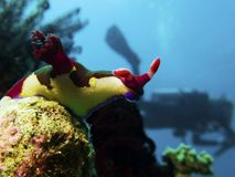 Nudibranch with diver stock images