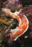 Nudibranch do palhaço Fotografia de Stock