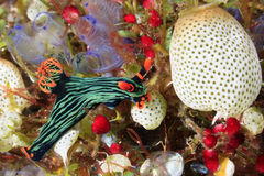 Nudibranch eating Ascidians Stock Image