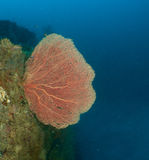 Nudibranch, Ertsader en koraal de Maldiven Royalty-vrije Stock Foto's
