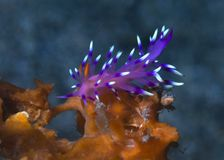 Nudibranch Flabellina exoplata Stock Images