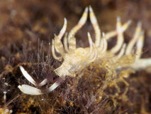 Nudibranch Flabellina riwo Royalty Free Stock Photography