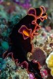 Nudibranch royalty free stock image