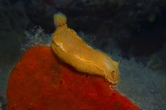 Nudibranch-Gelb Stockfotografie