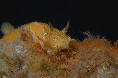Nudibranch-Gelb Lizenzfreies Stockbild