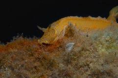 Nudibranch-Gelb Stockbilder