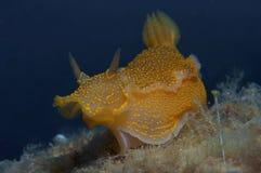 Nudibranch-Gelb Lizenzfreies Stockfoto