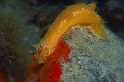 Nudibranch-Gelb Lizenzfreie Stockbilder