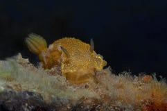 Nudibranch-Gelb Lizenzfreie Stockfotografie