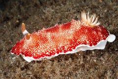 Nudibranch, Goniobranchus reticulata Stock Image