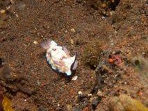 Nudibranch 01 hintuanensis Chromodoris Стоковая Фотография