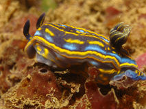 nudibranch hypselodoris cantabrica стоковая фотография